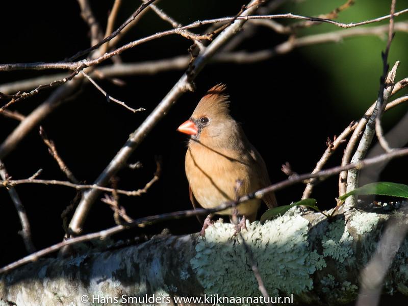 Northern cardinal (Cardinalis cardinalis)-818_6652