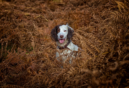 Rupert in the Autumn Bracken   by Missy Jussy