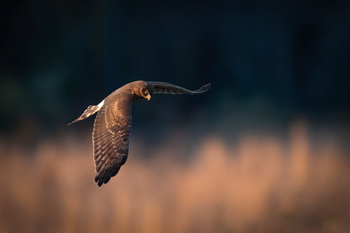 hen autumn birdsofprey northernharrier wildlife flight predator nature bird harrier polefarm mercermeadows fly raptor birdsinflight field pennington newjersey unitedstates us nikon d500