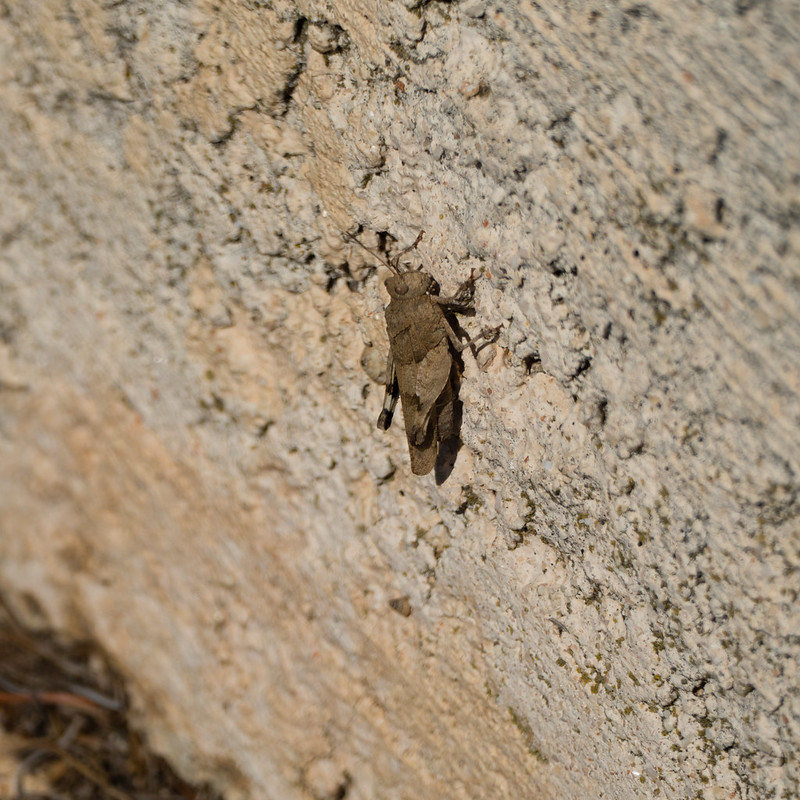 Insect - grasshopper? - Cassis