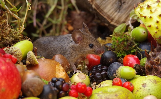 wild house mouse with wild picked fruits nuts and berries Autumn display (6)
