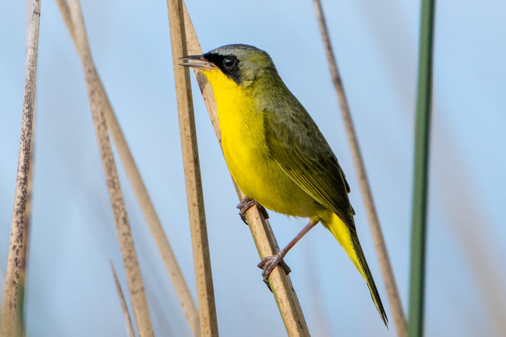 Arañero cara negra - Masked yellowthroat