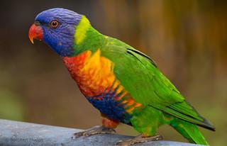 Rainbow Lorikeet | by mudge.stephen