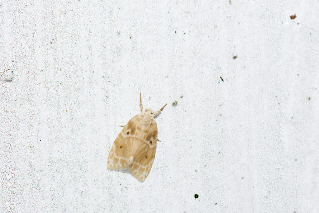 _ESJ2634 Schistophleps bipuncta | LiCheng Shih | Flickr