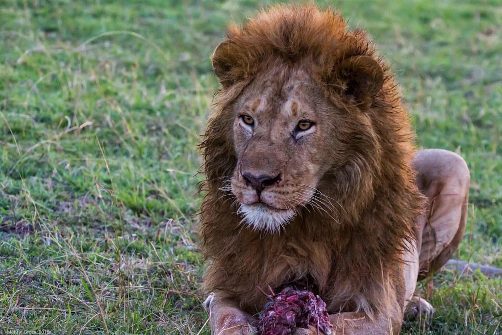 Maasai Mara_13sep18_13_leu la masa