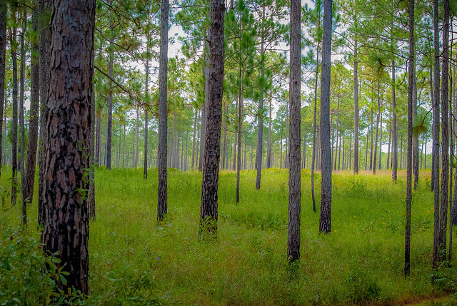 Gulf Trees