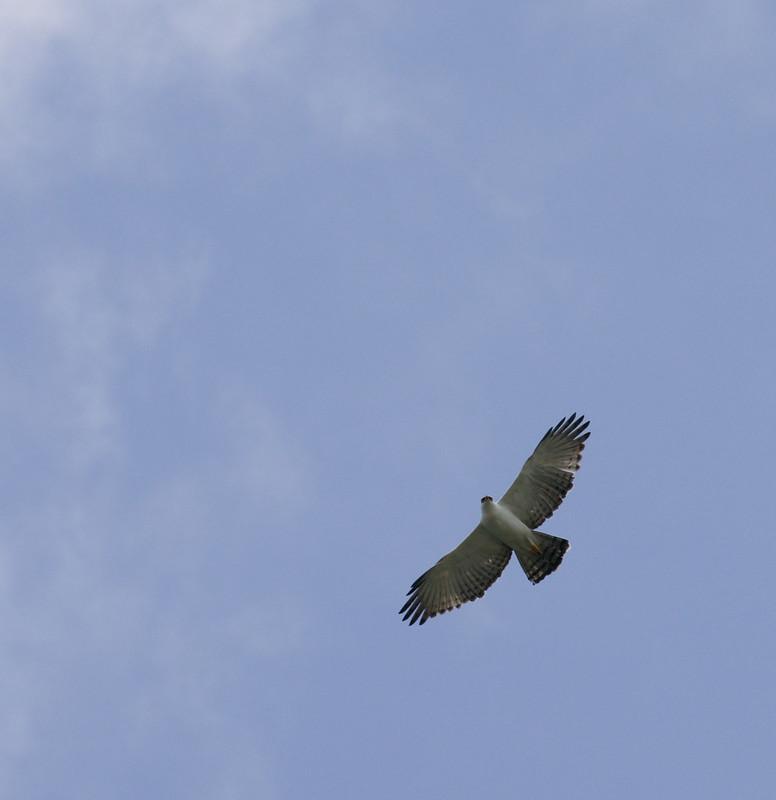 Black-and-white Hawk-Eagle, Spizaetus melanoleucus 199A8279