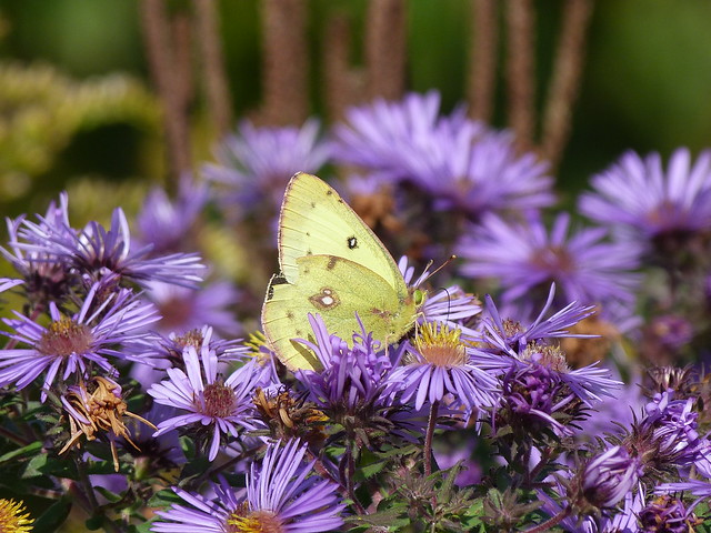 P1200946  CLOUDED SULPHUR ON NEW ENGLAND ASTER