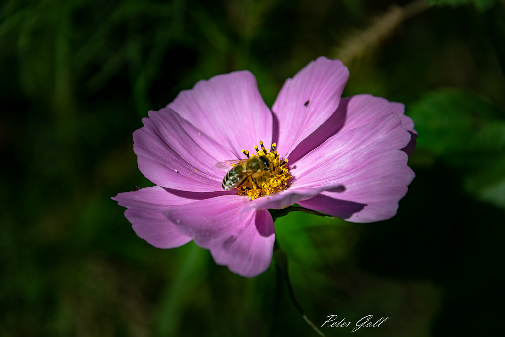 Bee on a flower 962 , Cosmos
