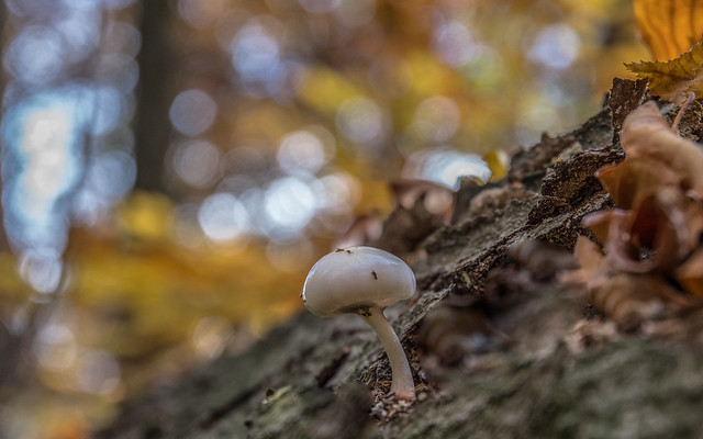 Porcelain Fungus - Oudemansiella mucida