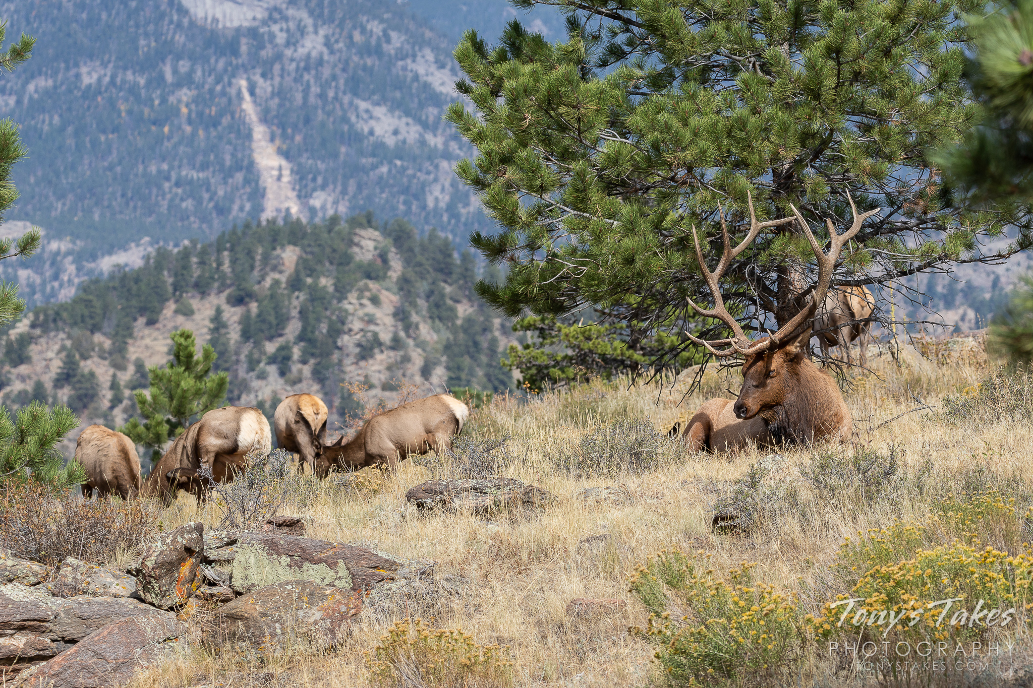 Elk bull takes a much needed break from the rut