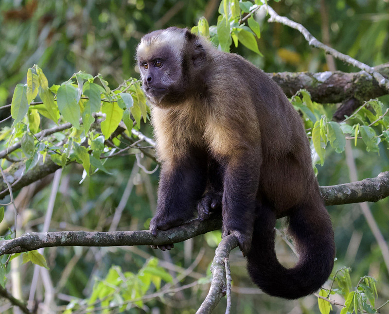 Brown (or Tufted) Monkey, Cebus apella 199A6456