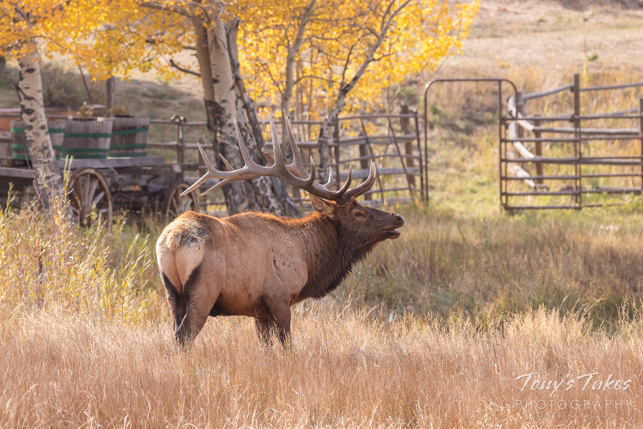 Bull Elk at the ranch for #WapitiWednesday. Normally I wouldn't like the man-made stuff in the background…