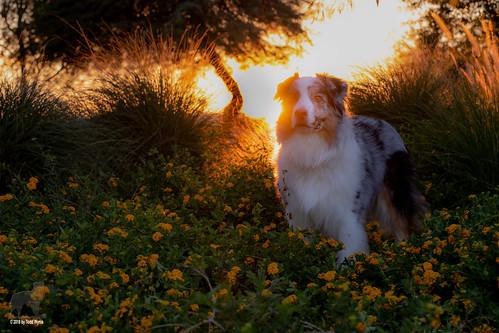 aussie australianshepherd dog flowers shrubs tree sunset