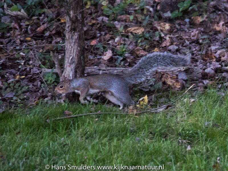 Eastern Gray Squirrel (Sciurus carolinensis)-818_6608
