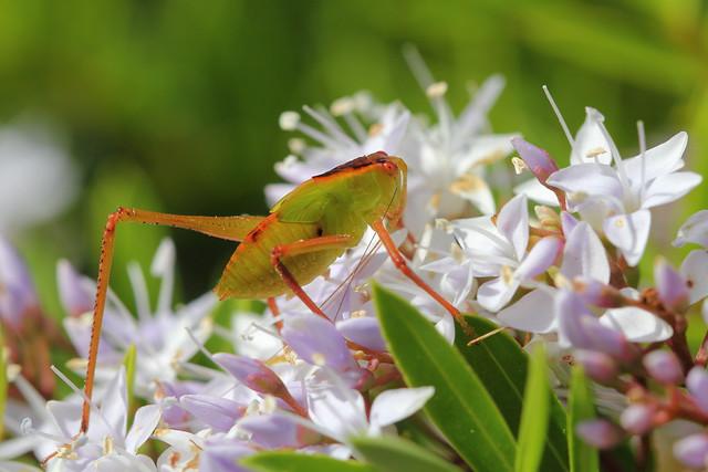 Common garden katydid