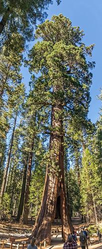 panorama panoramic mon ©mon canon sigma bigtree mariposagrove ca california californiatunneltree tunneltree tourists