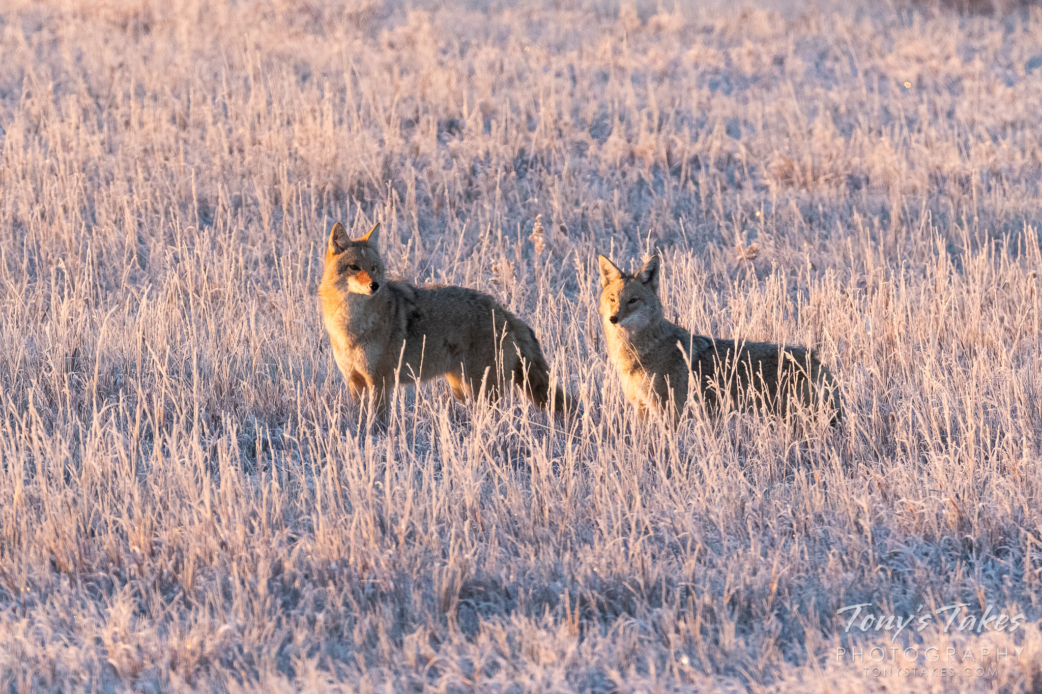 A pair of coyotes keeps watch at Cherry Creek State Park in Colorado. (© Tony's Takes)