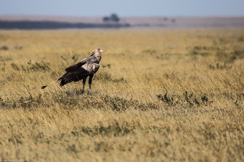 Serengeti_17sep18_17_secretarybird4