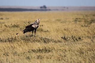 Serengeti_17sep18_17_secretarybird4 | by Valentin Groza