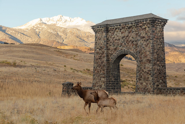 A cow and calf elk walk past Roosevelt Arch