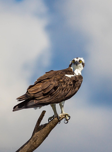 raptor osprey birdofprey hunter predator bird wildlife nature eyes lookingatyou cameo claws sharp outside outdoors lakeapopka midday canonoffical canon wildlifephotography zoom sky