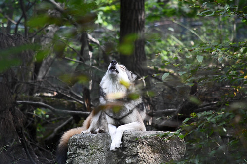 wolf howling | Laura Pontiggia (cc-by-nc-nd)