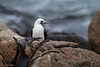 Peruvian Booby by mathurinmalby