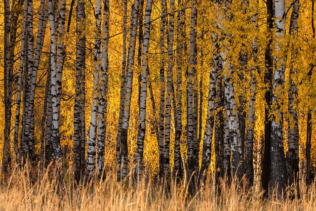 Fall season in a birchwood