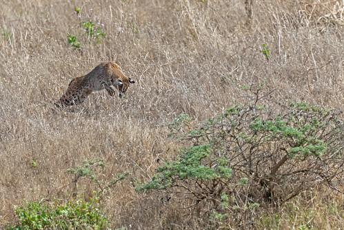 Bobcat Pounce | by lennycarl08