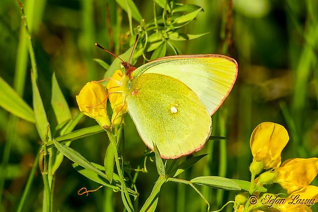 Moorland Clouded Yellow / Colias palaeno / Svavelgul höfjäril