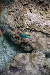 lagoon fish