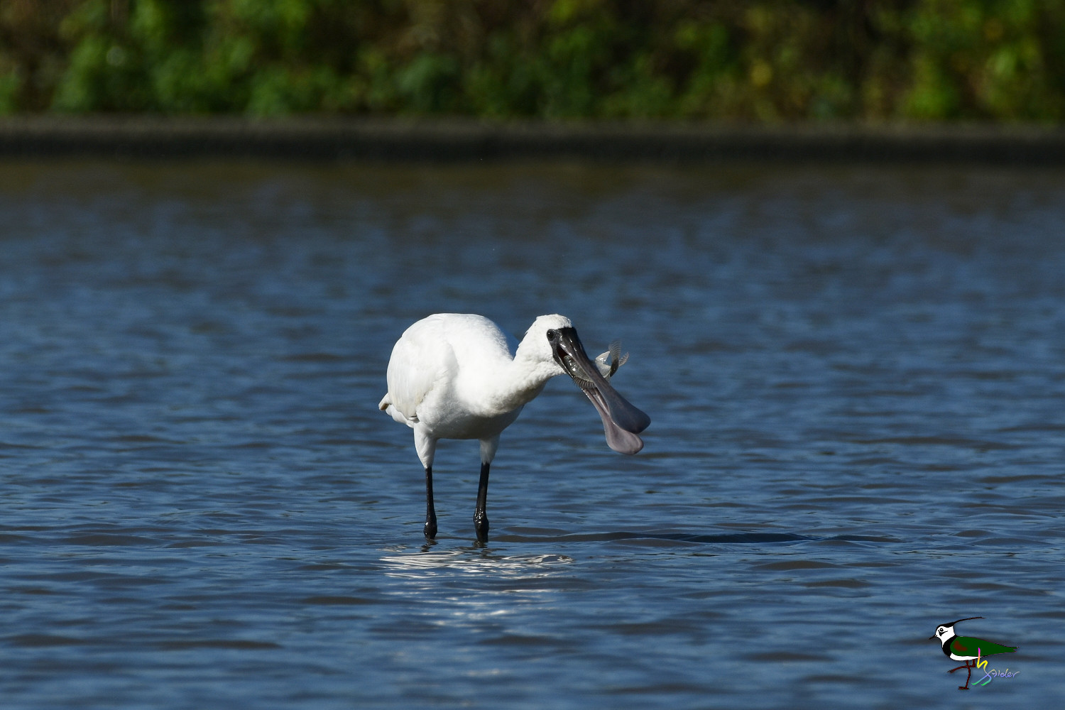 Black-faced_Spoonbill_9810