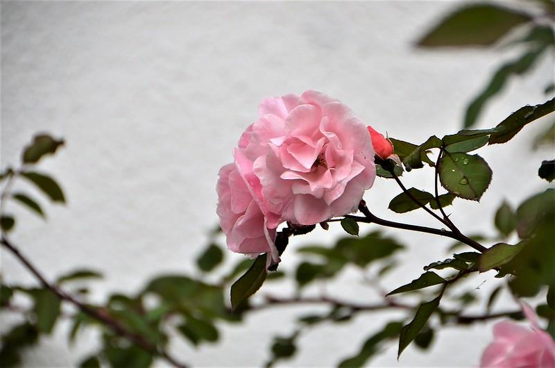 Rose 28.10 (1)