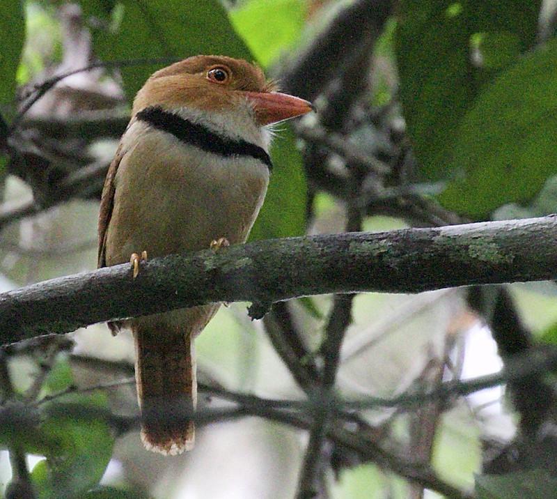 Collared Puffbird, Bucco capensis 199A8882