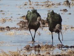 White-faced Ibis, Garst Road, Salton Sea, CA 9/23/2018