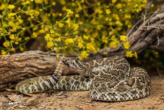 Mojave Rattlesnake | by Frank Portillo