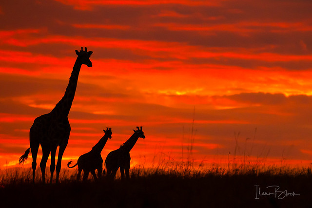 Giraffe silhouettes against an african sunrise