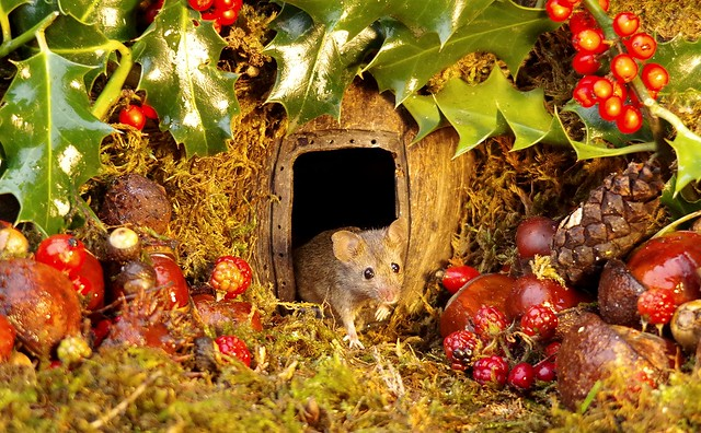 wild house mouse with holly christmas  (4)