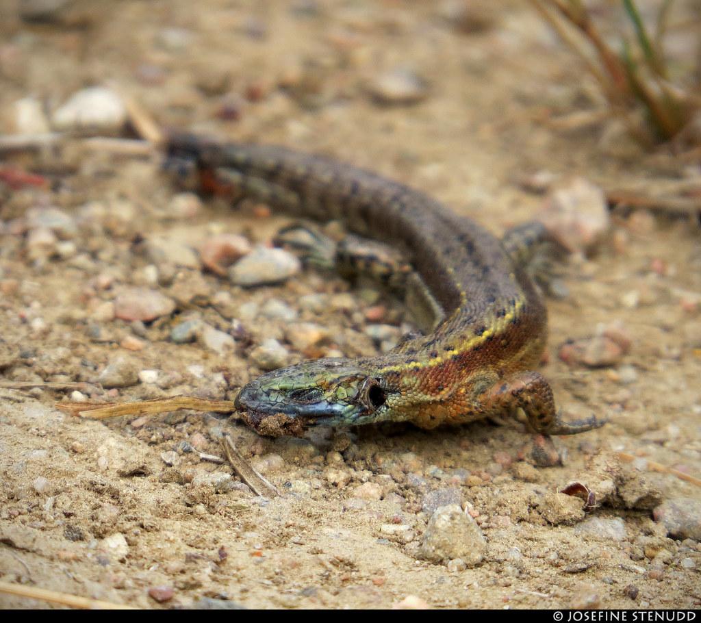Dead Alligator Lizard