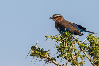 Serengeti_17sep18_09_lilac-breasted roller | by Valentin Groza