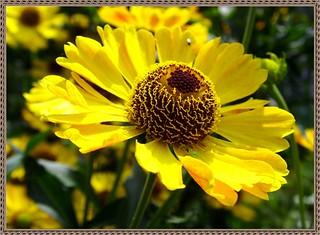 Helenium autumnale / Гелениум осенний