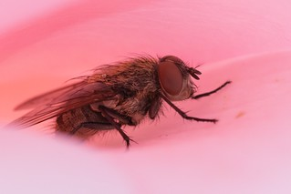 Mouche cachée dans une rose | by C3os