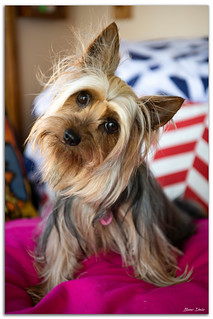 Australian Silky Terrier | by Bear Dale