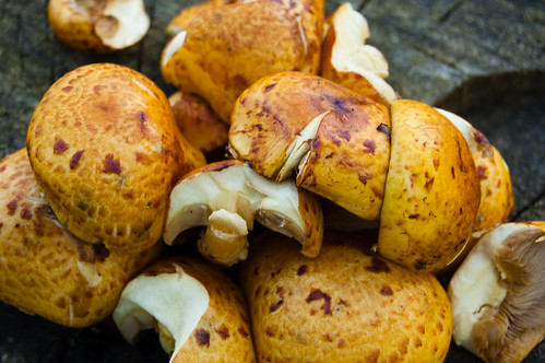 Honey fungus clump