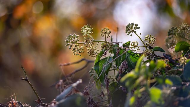 Autumn ivy...