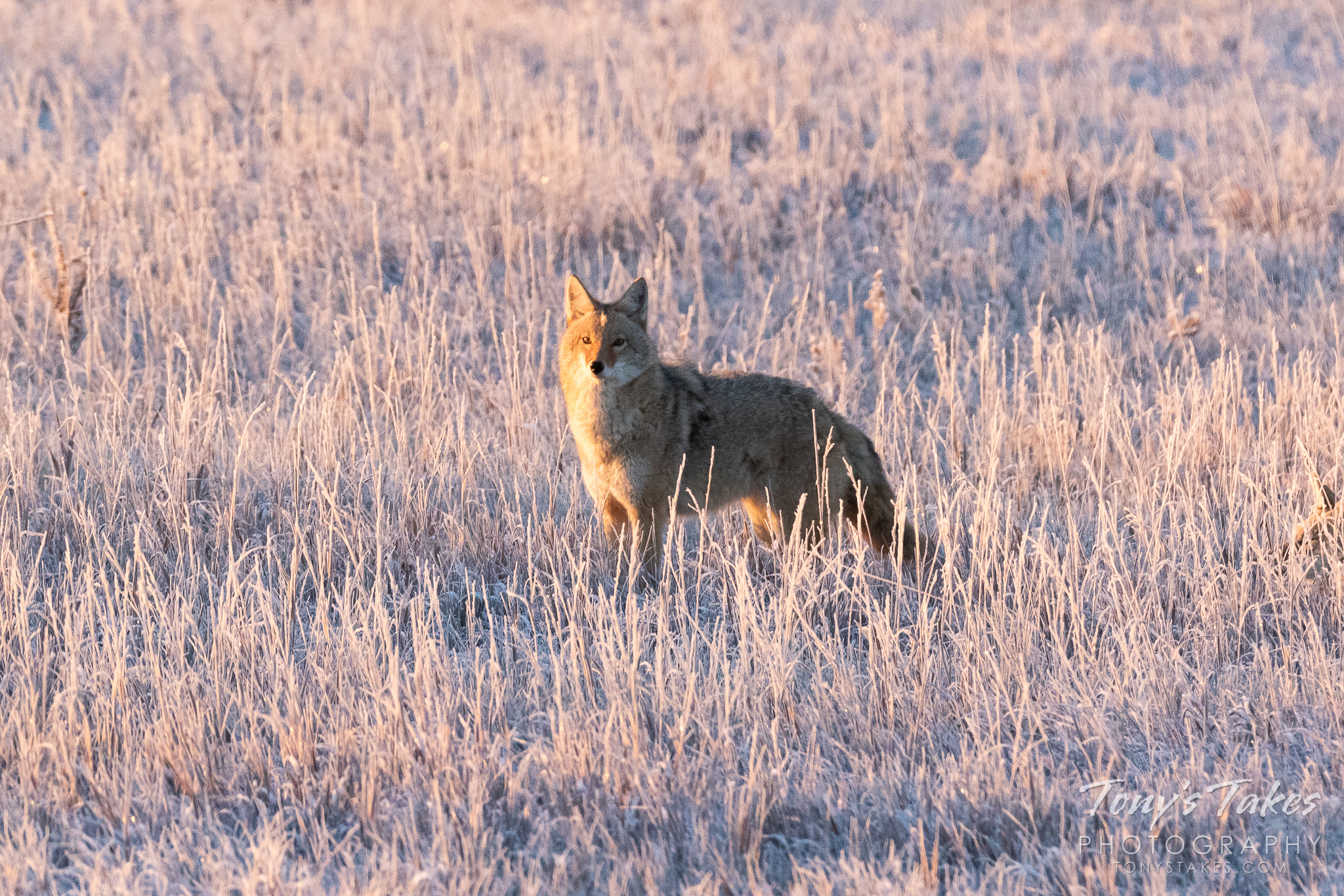 Coyotes on a cold, frosty morning