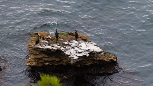 Cormorants resting, Cassis