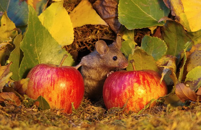wild mouse with Autumn apples  (8)