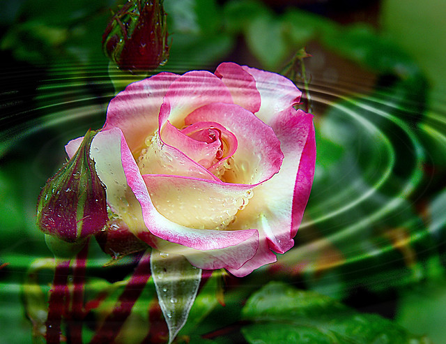 Rose ripples.